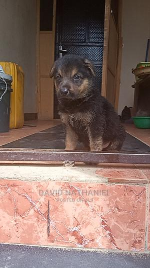 1-3 Month Male Purebred German Shepherd   Dogs & Puppies for sale in Abuja (FCT) State, Kubwa