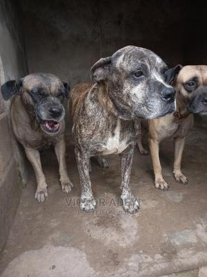 3-6 Month Female Purebred Boerboel | Dogs & Puppies for sale in Oyo State, Ibadan