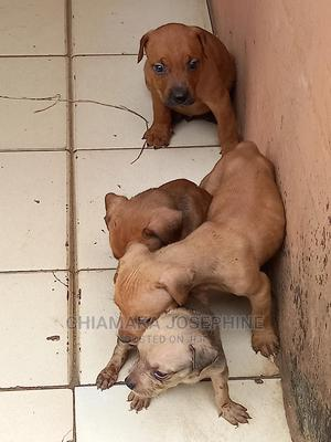 0-1 Month Female Purebred Boerboel   Dogs & Puppies for sale in Lagos State, Alimosho