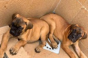 3-6 Month Female Purebred Boerboel | Dogs & Puppies for sale in Ogun State, Ado-Odo/Ota