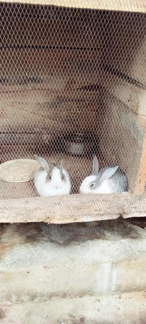New Zealand White Rabbit | Livestock & Poultry for sale in Akwa Ibom State, Etim-Ekpo