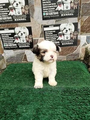1-3 Month Male Purebred Lhasa Apso | Dogs & Puppies for sale in Edo State, Benin City