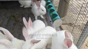 Pureline Quality Hyla Rabbit Weaners   Livestock & Poultry for sale in Oyo State, Ibadan