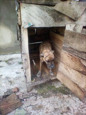 1+ Year Female Purebred Boerboel | Dogs & Puppies for sale in Oyo State, Ogbomosho North