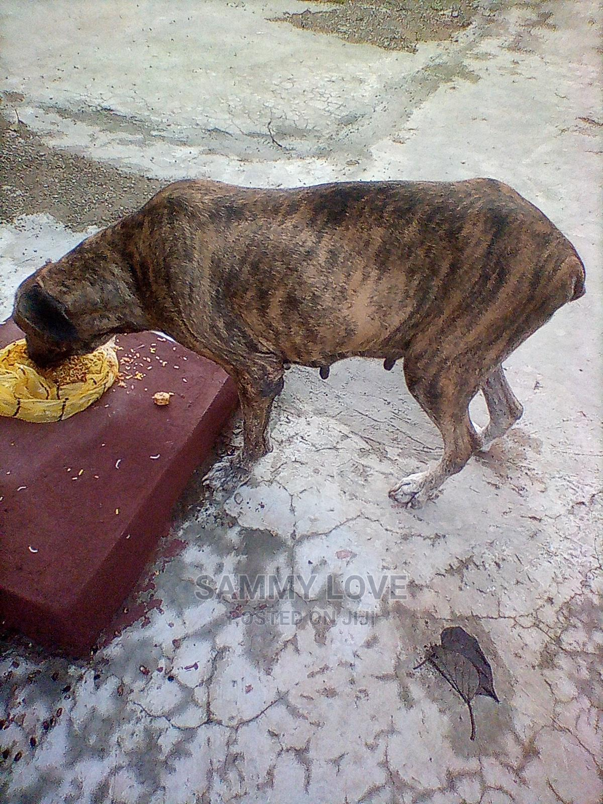 1+ Year Female Purebred Boerboel | Dogs & Puppies for sale in Ogbomosho North, Oyo State, Nigeria