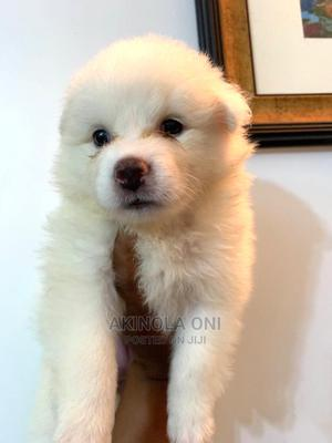 1-3 Month Male Purebred American Eskimo   Dogs & Puppies for sale in Lagos State, Ajah
