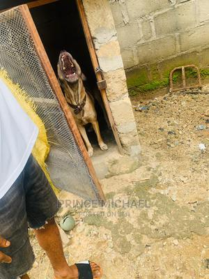 1+ Year Female Purebred Boerboel   Dogs & Puppies for sale in Abia State, Aba South