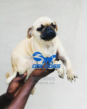 3-6 Month Male Purebred Pug   Dogs & Puppies for sale in Lagos State, Ikorodu