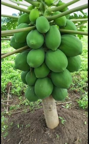 Seeds Dwarf Pawpaw Hybrid Sweet | Feeds, Supplements & Seeds for sale in Oyo State, Ibadan