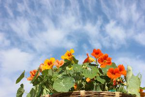 Nasturtium Dwarf Double Jewel Mixed Seeds | Feeds, Supplements & Seeds for sale in Lagos State, Amuwo-Odofin