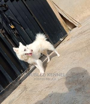 1+ Year Male Purebred American Eskimo | Dogs & Puppies for sale in Ondo State, Akure