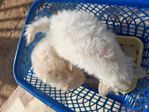 1-3 Month Male Purebred American Eskimo | Dogs & Puppies for sale in Oyo State, Ogbomosho North