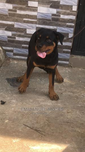 3-6 Month Female Purebred Rottweiler | Dogs & Puppies for sale in Abuja (FCT) State, Central Business District