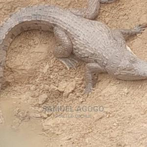 A Pair Of Crocodile For Sale.   Reptiles for sale in Abuja (FCT) State, Kurudu