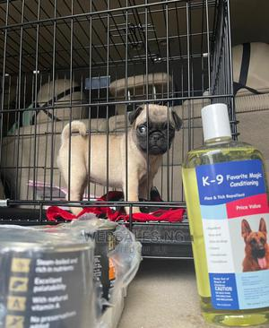 3-6 Month Male Purebred Pug | Dogs & Puppies for sale in Lagos State, Surulere