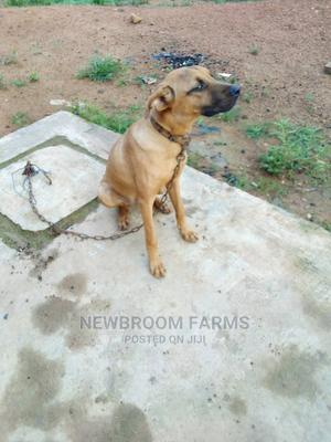 3-6 Month Female Purebred Boerboel | Dogs & Puppies for sale in Oyo State, Akinyele