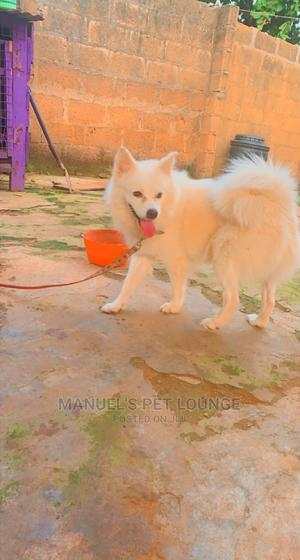 1+ Year Male Purebred American Eskimo | Dogs & Puppies for sale in Lagos State, Abule Egba