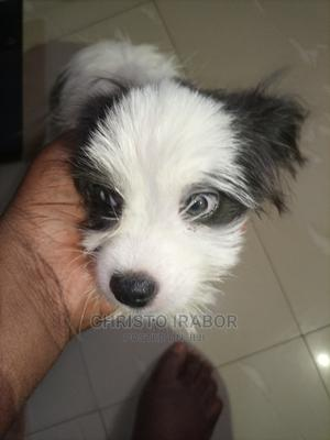 1-3 Month Male Mixed Breed American Eskimo | Dogs & Puppies for sale in Lagos State, Ibeju
