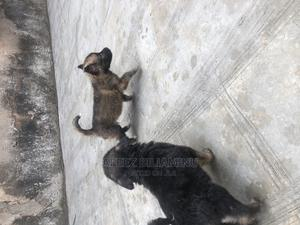 1-3 Month Female Mixed Breed German Shepherd | Dogs & Puppies for sale in Lagos State, Shomolu
