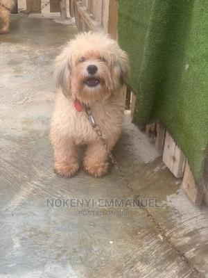 1+ Year Male Purebred Lhasa Apso | Dogs & Puppies for sale in Kwara State, Ilorin East
