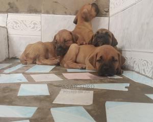 0-1 Month Female Purebred Boerboel | Dogs & Puppies for sale in Lagos State, Ikeja