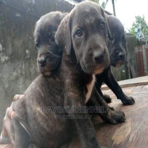 1-3 Month Male Purebred Boerboel   Dogs & Puppies for sale in Edo State, Benin City