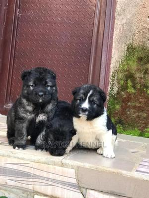 1-3 Month Female Purebred Caucasian Shepherd | Dogs & Puppies for sale in Edo State, Benin City