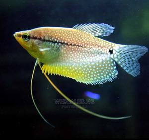 Pearl Gourami Fish for Aquarium   Fish for sale in Lagos State, Surulere