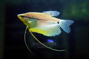 Pearl Gourami Fishes for Aquariums   Fish for sale in Lagos State, Surulere