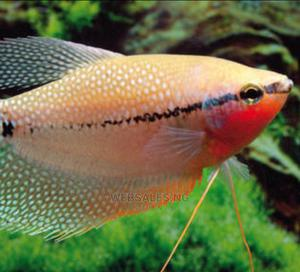 Pearl Gourami for Aquariums   Fish for sale in Lagos State, Surulere