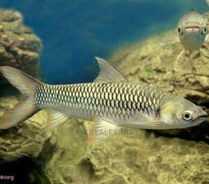 Red Tail Cigar Shark for Aquariums | Fish for sale in Lagos State, Surulere