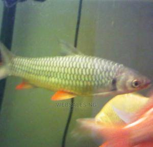 Aquarium Cigar Shark Available for Your Fish Tank | Fish for sale in Lagos State, Surulere