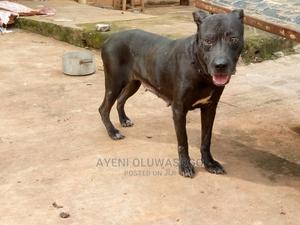 1+ Year Female Purebred American Pit Bull Terrier | Dogs & Puppies for sale in Lagos State, Ikorodu
