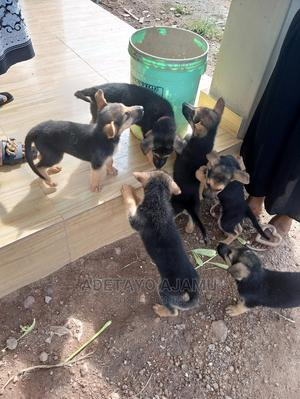 1-3 Month Female Mixed Breed German Shepherd | Dogs & Puppies for sale in Oyo State, Ogbomosho North