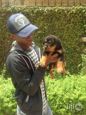 Young Male Purebred Rottweiler | Dogs & Puppies for sale in Oyo State, Ibadan