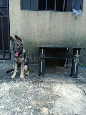 3-6 Month Female Mixed Breed German Shepherd   Dogs & Puppies for sale in Rivers State, Port-Harcourt