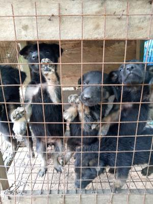 1-3 Month Female Purebred German Shepherd | Dogs & Puppies for sale in Kwara State, Offa
