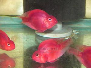Parrot Fishs | Fish for sale in Lagos State, Surulere