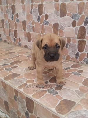 1-3 Month Male Purebred Boerboel | Dogs & Puppies for sale in Abuja (FCT) State, Kurudu