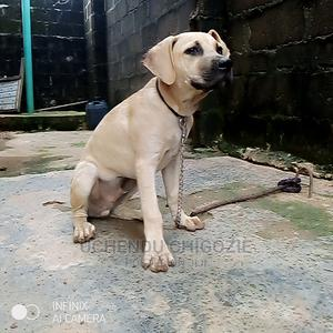 1-3 Month Male Purebred Boerboel | Dogs & Puppies for sale in Lagos State, Alimosho