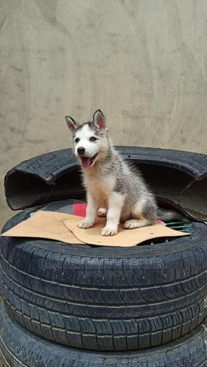 1-3 Month Female Purebred Siberian Husky | Dogs & Puppies for sale in Lagos State, Ajah