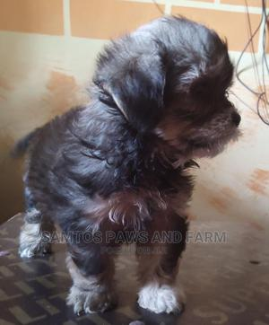 1-3 Month Female Purebred Lhasa Apso   Dogs & Puppies for sale in Ogun State, Abeokuta South