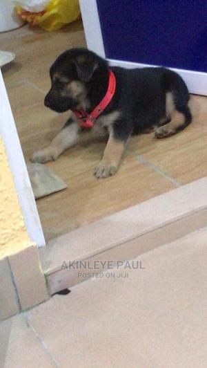 1-3 Month Female Purebred German Shepherd   Dogs & Puppies for sale in Lagos State, Ikotun/Igando