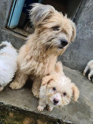 1-3 Month Female Mixed Breed Poodle | Dogs & Puppies for sale in Lagos State, Ikorodu