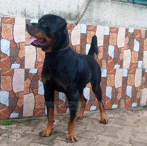 1+ Year Male Purebred Rottweiler | Dogs & Puppies for sale in Edo State, Benin City