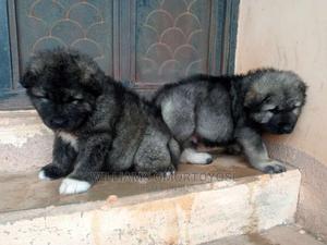 1-3 month Male Purebred Caucasian Shepherd | Dogs & Puppies for sale in Ekiti State, Ado Ekiti
