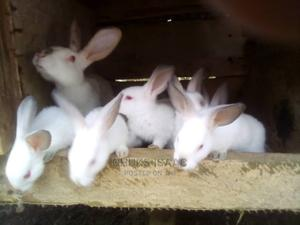 Quality Rabbits for Sale Msg on Whatsapp   Other Animals for sale in Edo State, Benin City