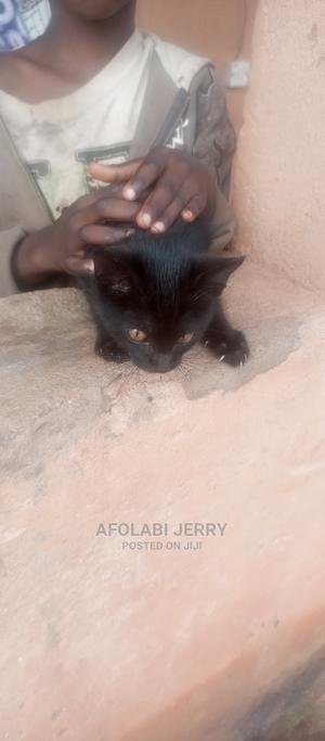 3-6 Month Male Purebred Bombay   Cats & Kittens for sale in Edo State, Benin City