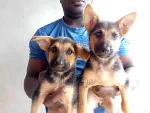 1-3 Month Female Purebred German Shepherd | Dogs & Puppies for sale in Oyo State, Ogbomosho North
