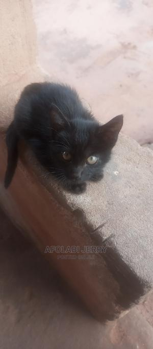 3-6 Month Female Purebred Bombay   Cats & Kittens for sale in Edo State, Benin City